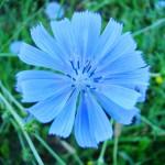 Chicory - Fiore di bach