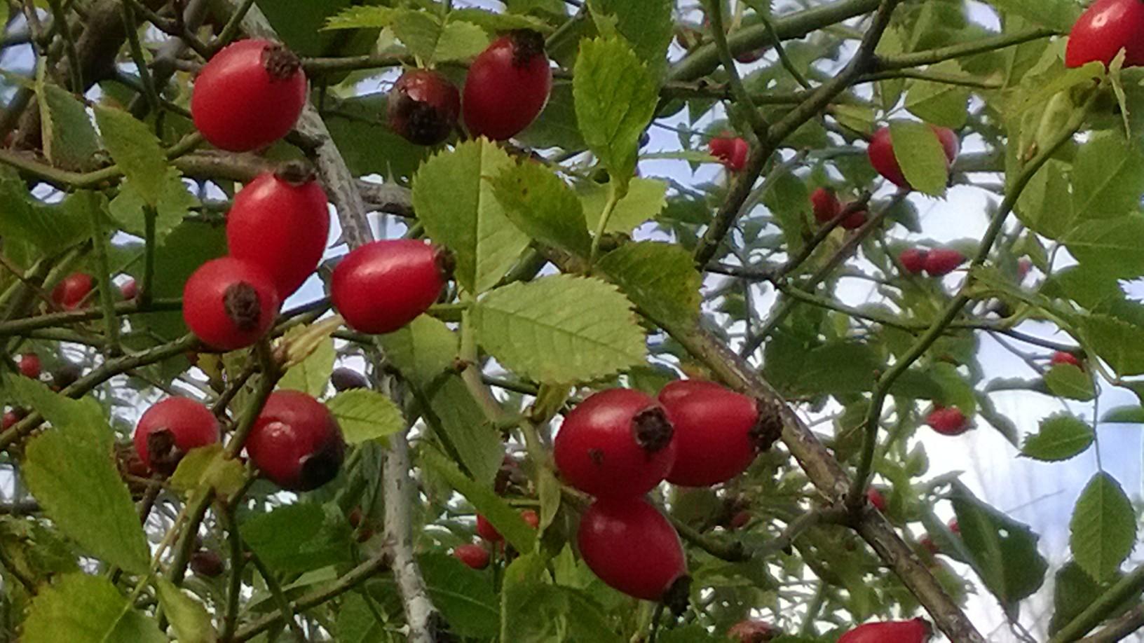 il rosso intenso dell'autunno: la rosa canina e le bacche selvatiche