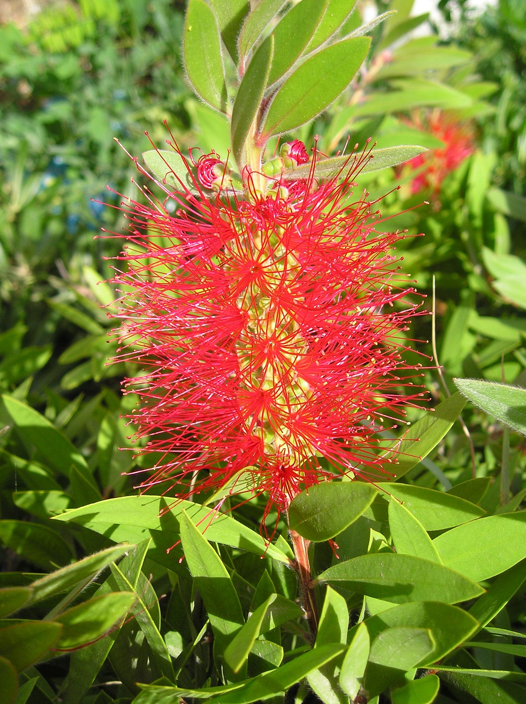 Bottlebrush fiore del cambiamento e rafforzamento